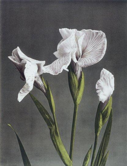 Японские цветы Огавы Кадзумасы - №11