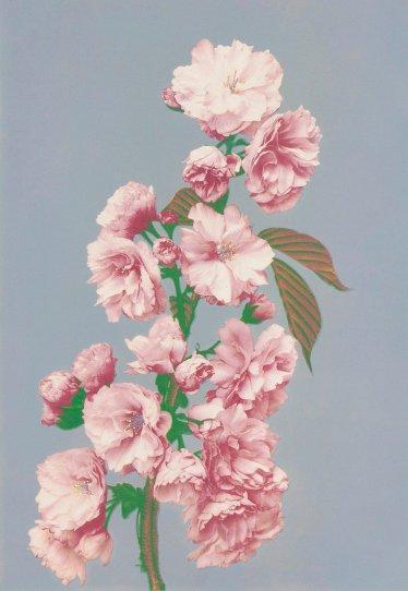 Японские цветы Огавы Кадзумасы - №13