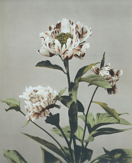 Японские цветы Огавы Кадзумасы - №15