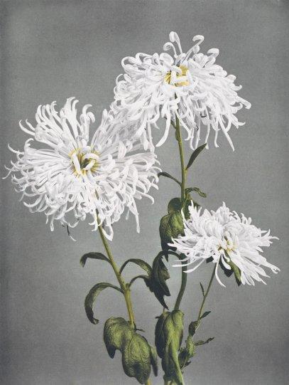 Японские цветы Огавы Кадзумасы - №17