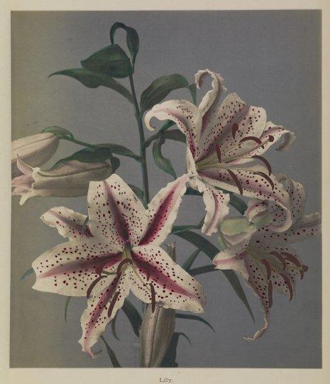 Японские цветы Огавы Кадзумасы - №19