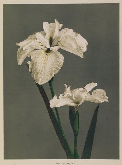 Японские цветы Огавы Кадзумасы - №21