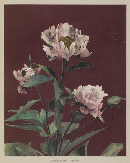 Японские цветы Огавы Кадзумасы - №23