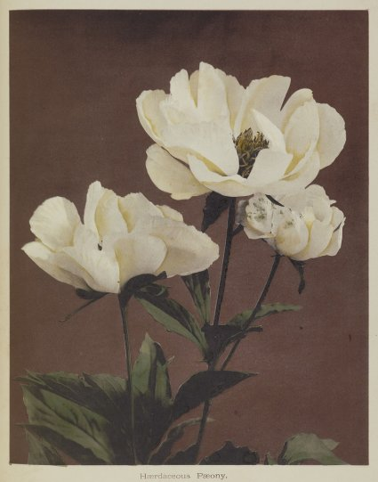 Японские цветы Огавы Кадзумасы - №25