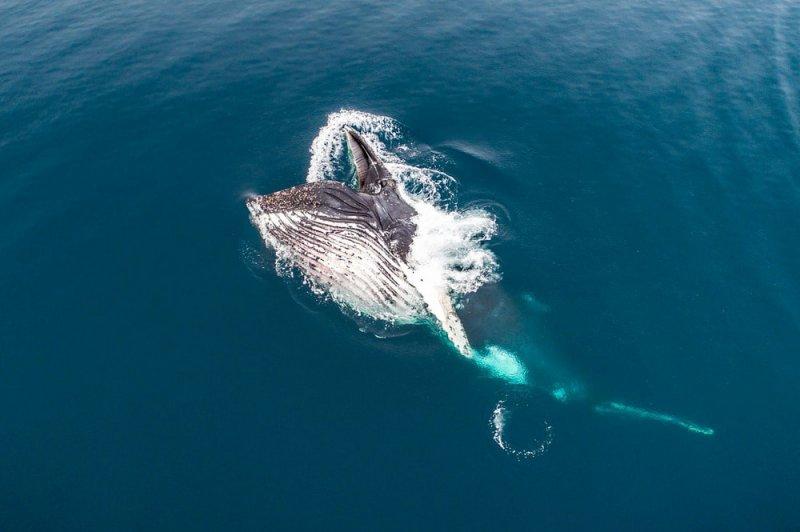 Финалист в категории «Дикая природа». Кормление горбатых китов, Антарктида. Автор фото: Флориан Леду.
