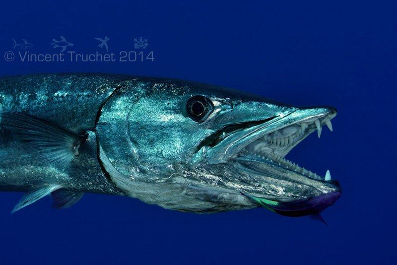 Подводные фотографии Винсента Трюше - №5