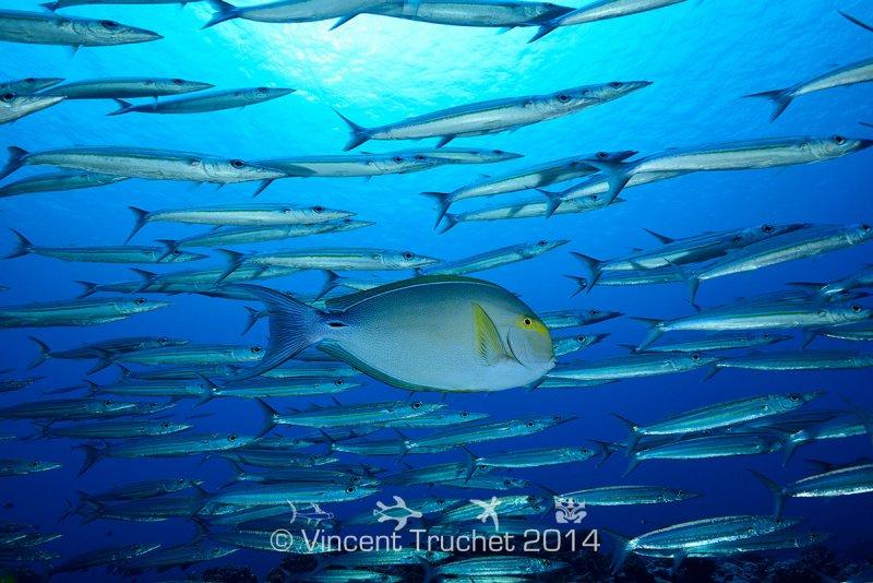 Подводные фотографии Винсента Трюше - №7