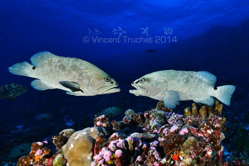 Подводные фотографии Винсента Трюше - №21