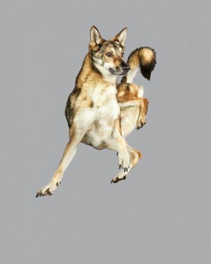 Фотографии собак в прыжке от Джулии Кристе - №1