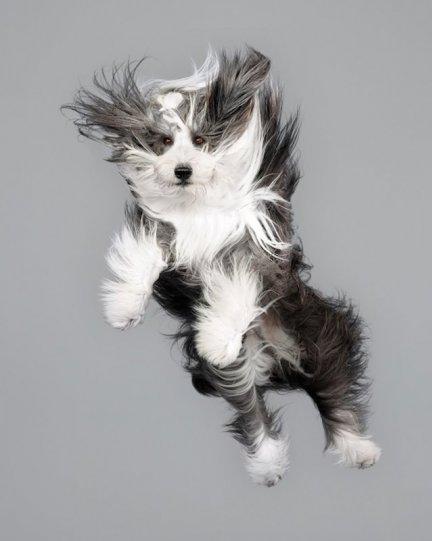 Фотографии собак в прыжке от Джулии Кристе - №3