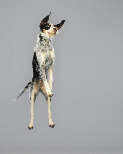 Фотографии собак в прыжке от Джулии Кристе - №13