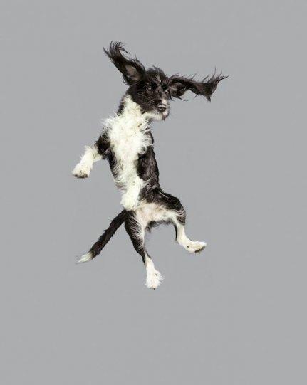 Фотографии собак в прыжке от Джулии Кристе - №15