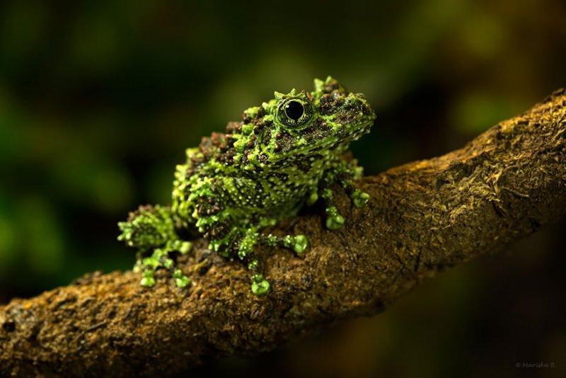 Мшистая лягушка, Фото: Маришка Бортдженс