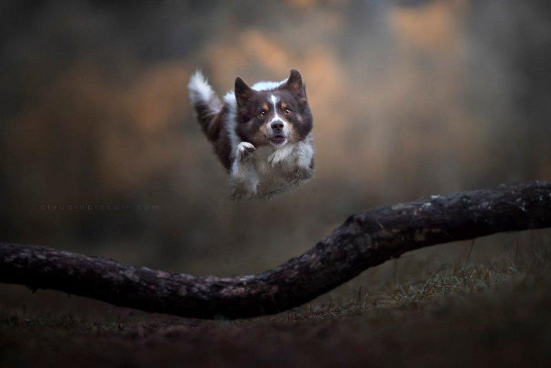 Собаки в фотографиях Клаудио Пикколи - №21