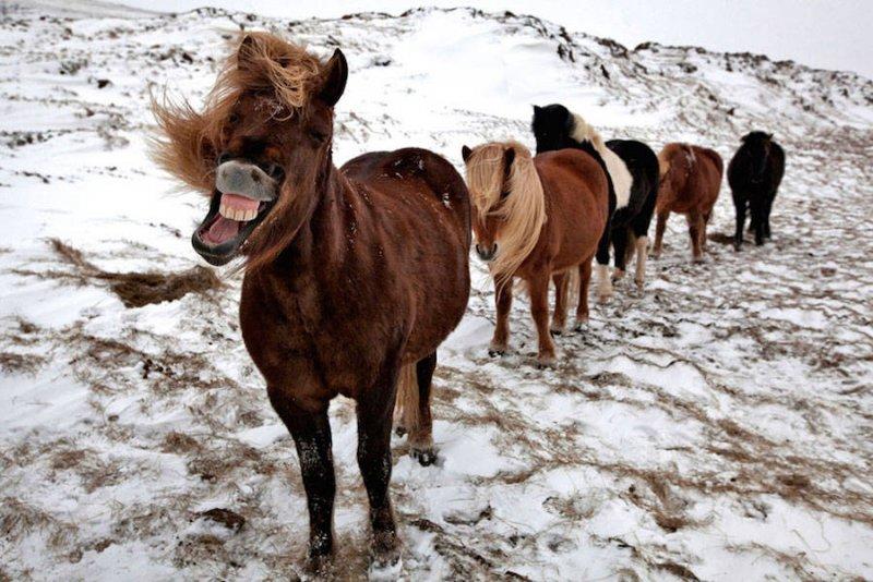 Дикие лошади Исландии - №7