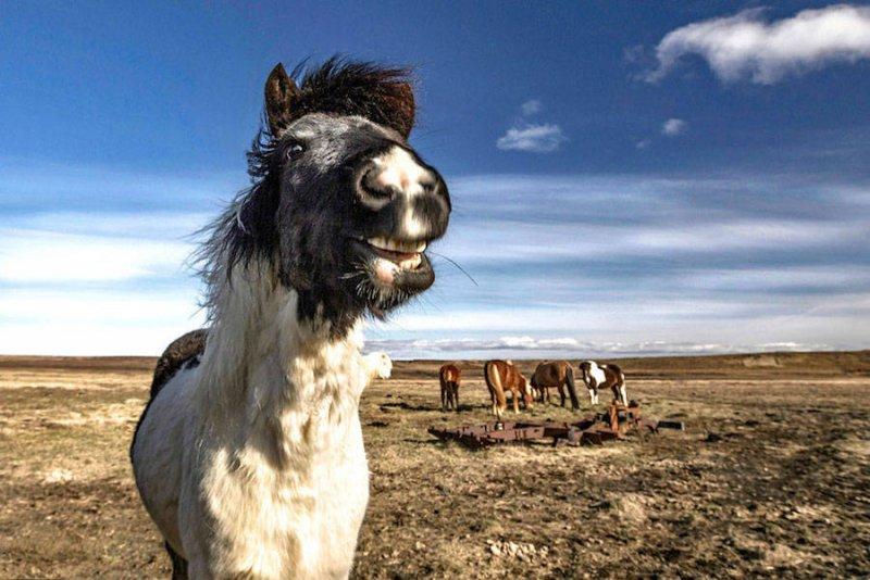 Дикие лошади Исландии - №12