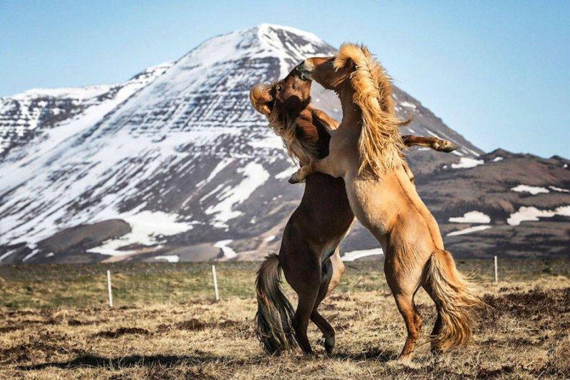 Дикие лошади Исландии - №1