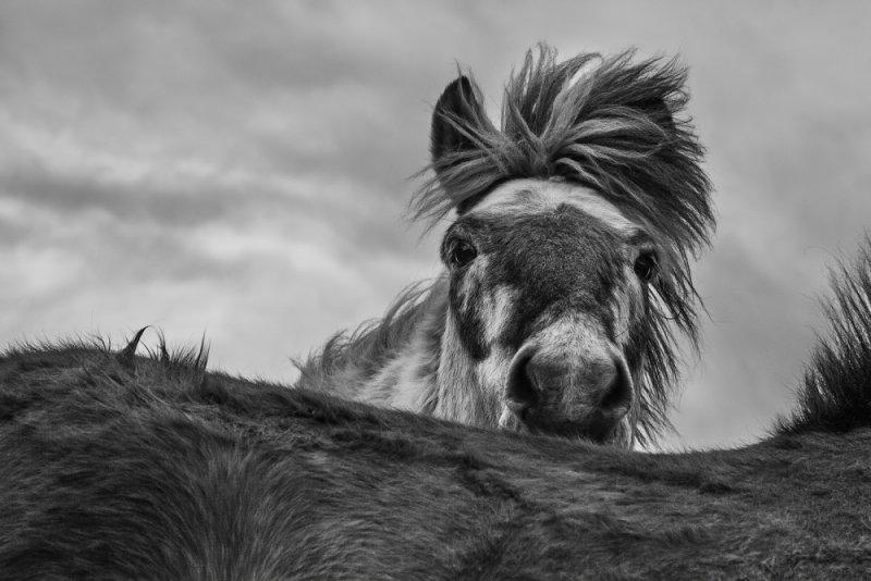 Дикие лошади Исландии - №8