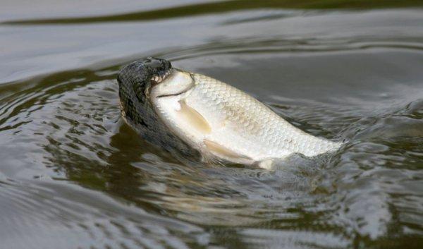 Змеи-рыболовы в интересной фото истории - №1