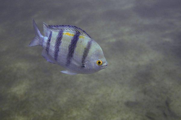 Рыба-сержант[1]