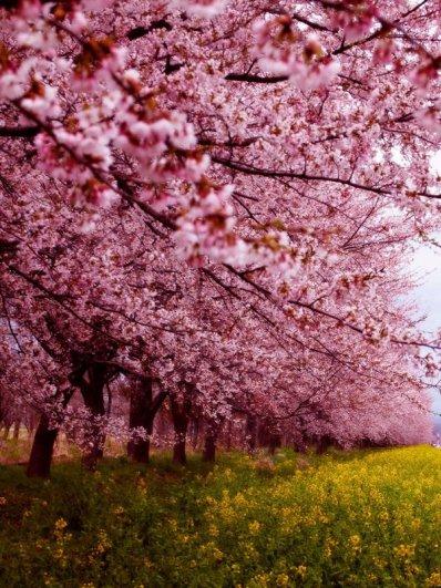 Самые красивые фотографии цветения сакуры - №5