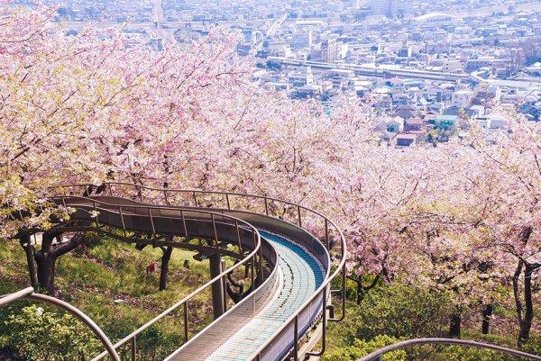 Самые красивые фотографии цветения сакуры - №9