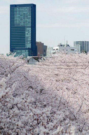 цветение сакуры 2014