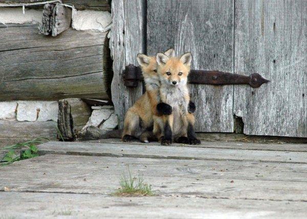 Насладитесь милыми фотографиями рыжей лисы - №1