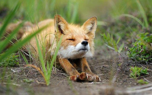 Насладитесь милыми фотографиями рыжей лисы - №5