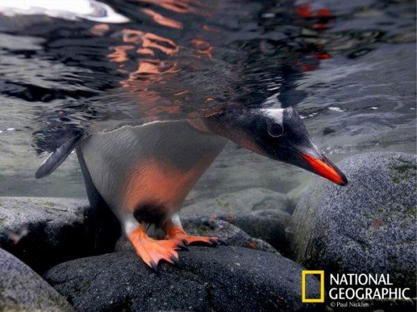 Птенец папуанского пингвина заглядывает в воду, проверяя, нет ли угрозы, не плывет ли морской леопард. Порт-Локрой, Антарктический полуостров.