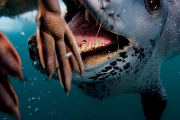 Морской леопард «кормит» фотографа Полa Никлена пингвинами.