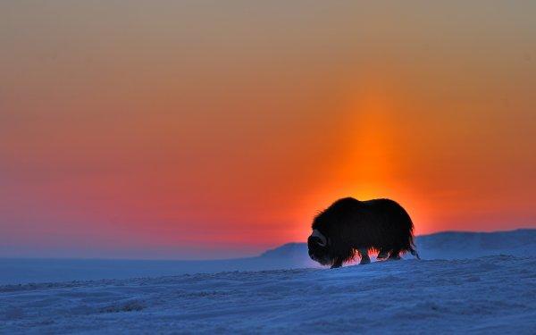 Полярная ночь и буйвол.