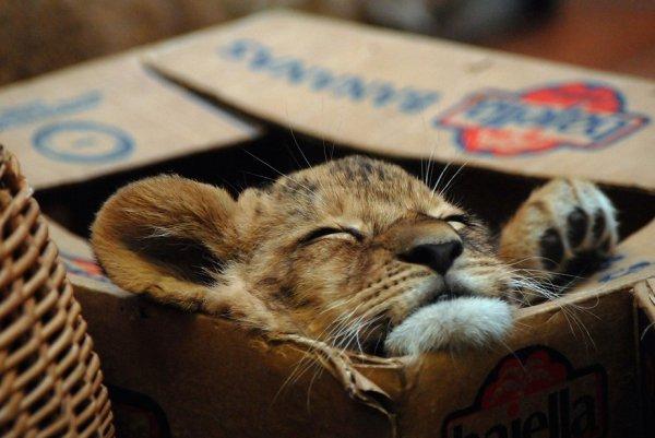 Большие дикие кошки тоже любят