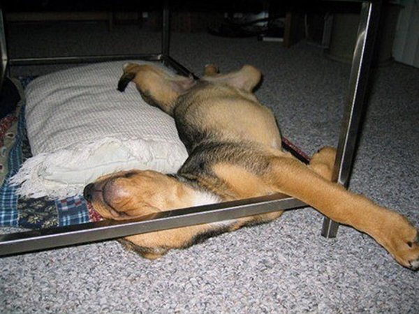 спящая собака картинки