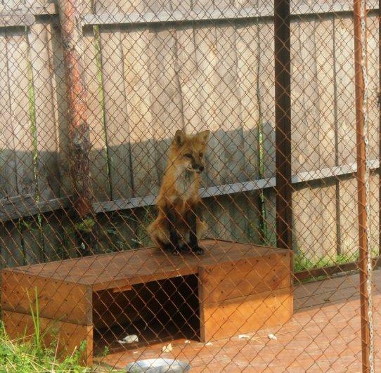 Профиль лисы в зоопарке