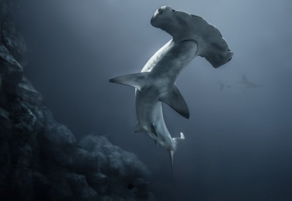 Опасные акулы Фото: Рик Уайт