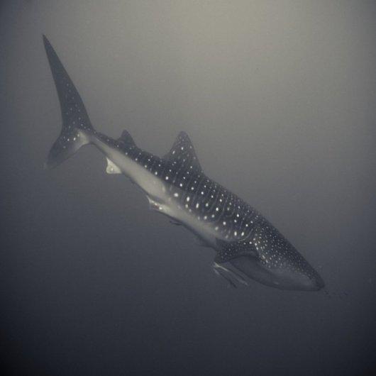 акулы опасные для человека Фото: Хенгки Коентжоро