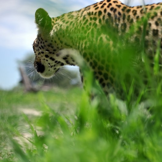 Леопард, взгляд снизу, моя любимая точка съемки. Все просто, снял снизу и совершенно другой эффект.