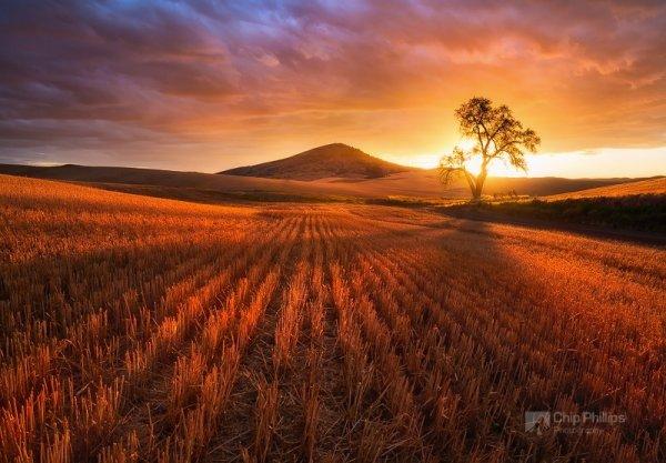 Красота природы - Золотистое поле на закате