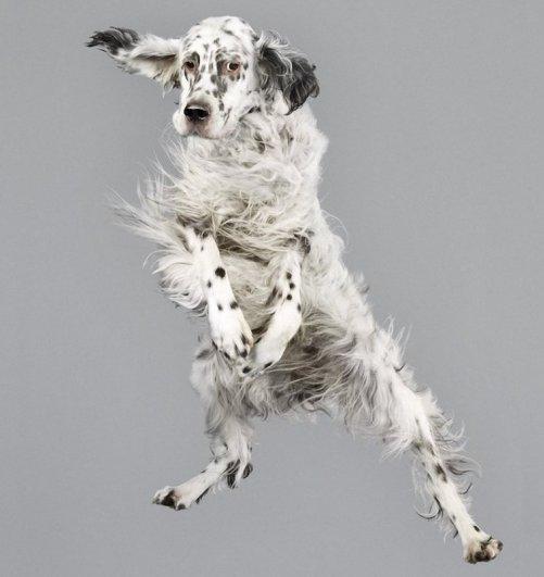 белая летающая собака