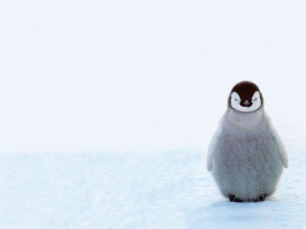 маленькие пингвины фото